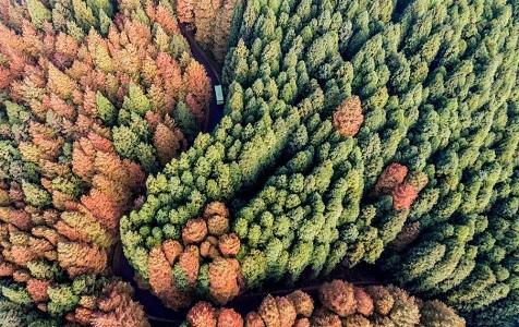 航拍重庆山王坪双色树林惊艳游客