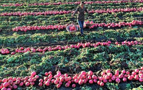 蔬果種植盤活城郊農村經濟