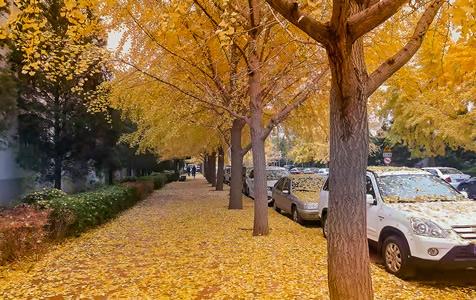 北京:秋雨过后 银杏落叶铺满地