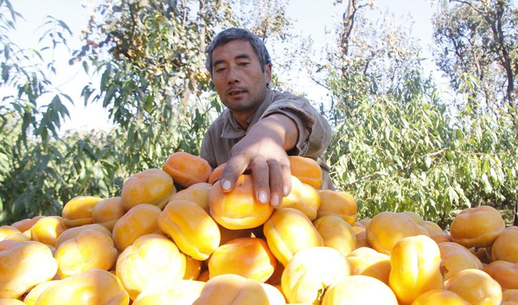 磨盘柿助农增收