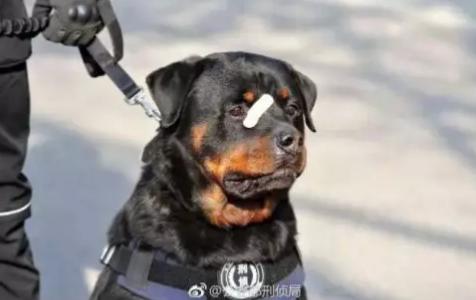"""""""创可贴警犬""""走红!这是男子汉的勋章!"""