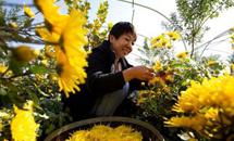 河北武安:特色菊花种植铺就致富路