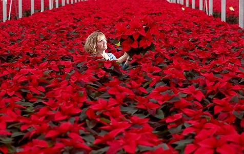 英国植物园迎一品红出货季 鲜红花朵抢先释放圣诞气息