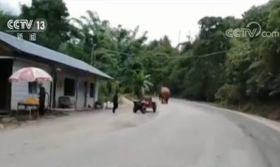 云南普洱 亚洲象闯入公路 相关部门紧急应对