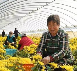 滦南:特色菊花种植拓宽致富路