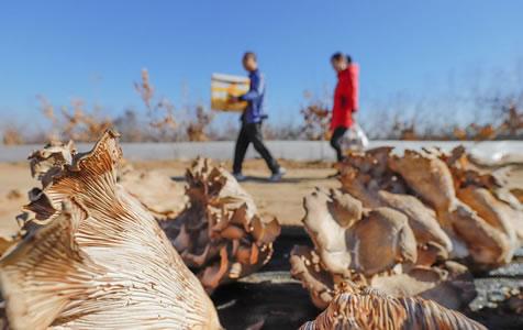 河北遵化:树下地种植褐灵菇增收