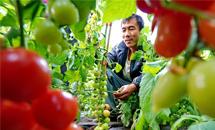 河北昌黎:设施蔬菜种植助农增收
