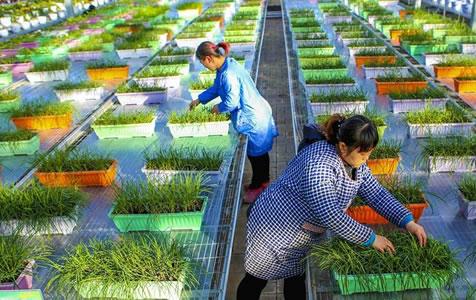 河北饶阳:现代农业园助推留守农妇家门口就业