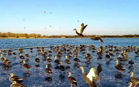 河北唐山:水鸟戏南湖