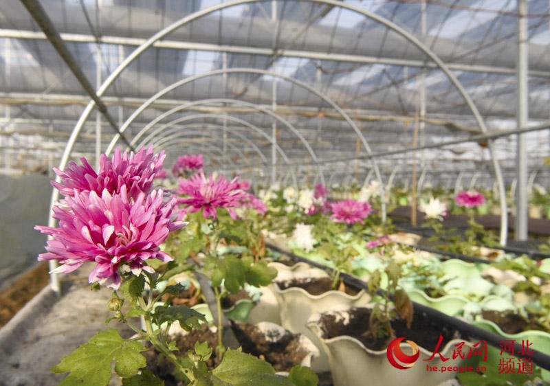 除虫菊植物的形态特征有哪些?你知道吗??