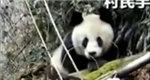 四川北川 保护区外首次发现野生大熊猫