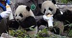 四川成都 首对野外引种大熊猫双胞胎亮相