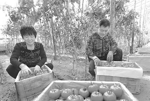 蔬菜种植逐渐成为饶阳县特色支柱产业