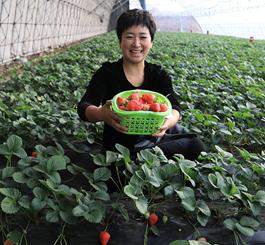 唐山丰润:农家女草莓棚里趟富路