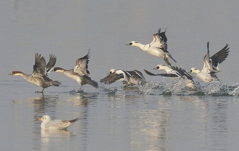 候鸟群集青岛湿地越冬 呈现美丽生态画卷