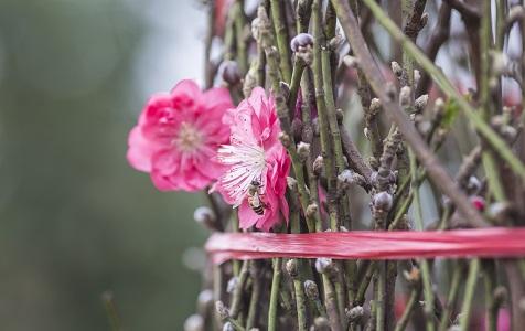 广州:桃花朵朵开 价格上涨两成
