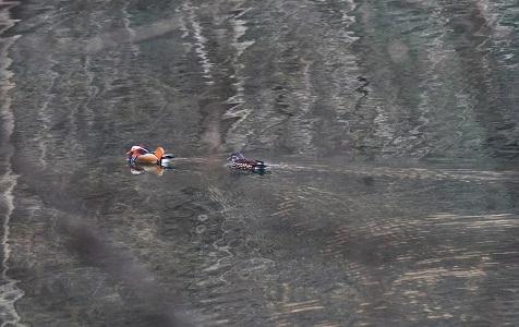 湖北宜昌:中华秋沙鸭、鸳鸯湿地嬉戏享暖阳