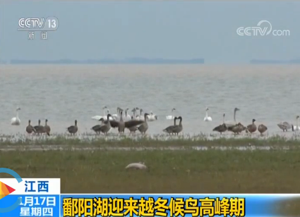 江西 鄱阳湖迎来越冬候鸟高峰期