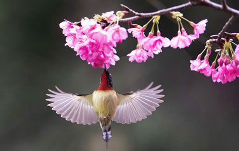 樱花丛中鸟翻飞
