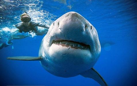 """全球最大白鲨""""深蓝""""现身夏威夷"""