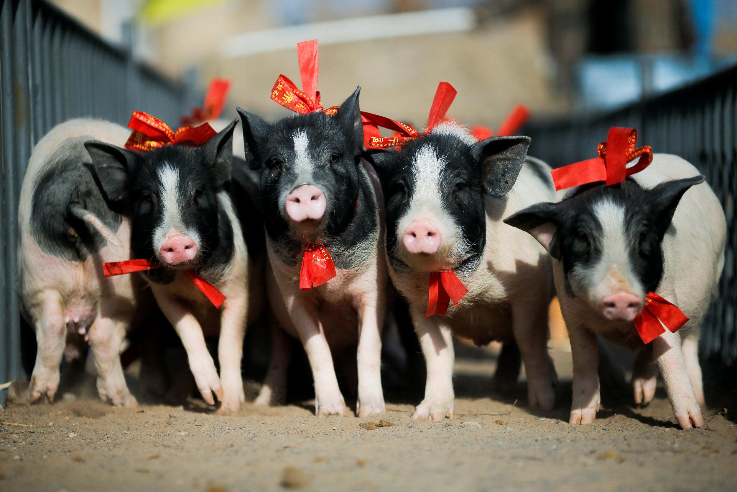小猪快跑!张家口小猪运动会举行迎接农历新年