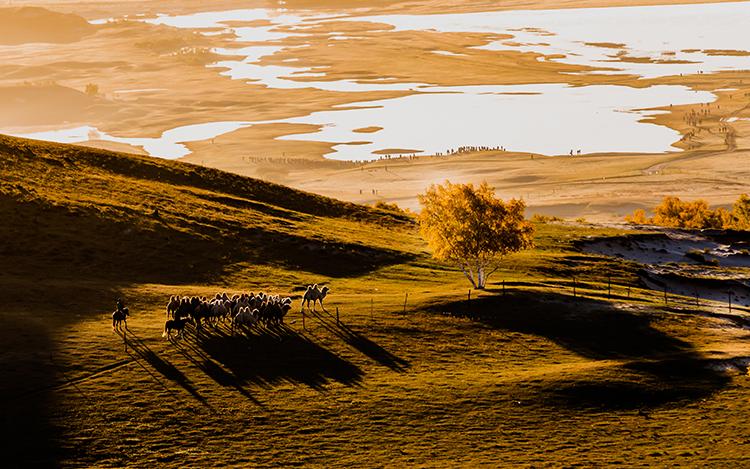 河北承德:坝上草原驼队