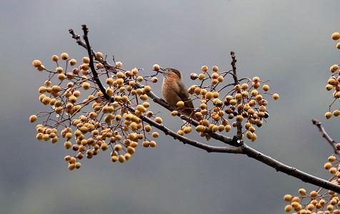 安徽黄山:鸟舞枝头采食忙