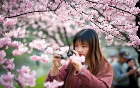 南京樱花绚丽绽放 散发粉色浪漫气息