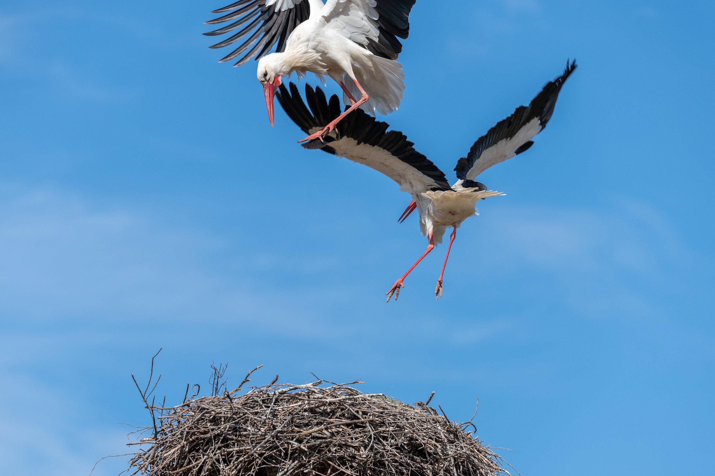 """西班牙两?#35805;?#40563;为争夺筑巢领地大打出手 上演现实版""""愤怒的小鸟"""""""