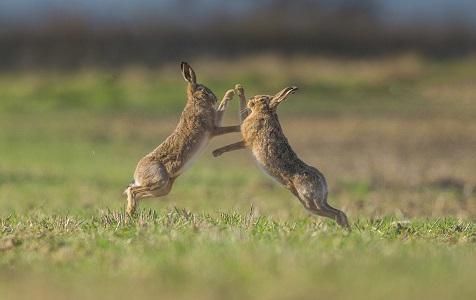 """英国:倒霉雄兔示爱被拒 反遭雌兔""""掌掴"""""""