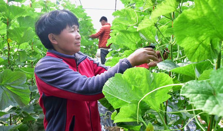 河北新乐:春天里农民劳作忙
