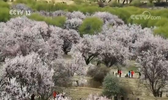 """行走西藏看变迁 """"来神仙居住的地方""""看桃花"""