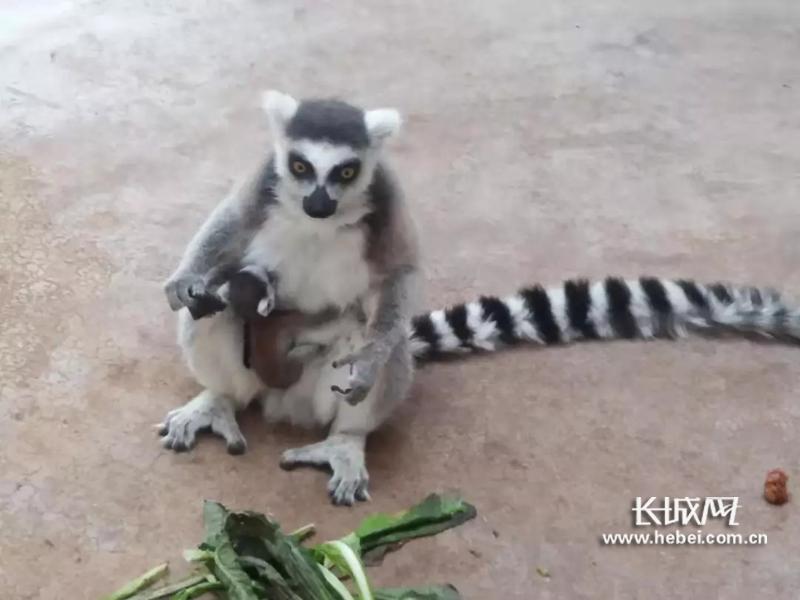 石家庄市动物园2019年第一只环尾狐猴宝宝顺利降生