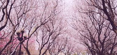 石家庄:春风十里,只差一个赏花的你