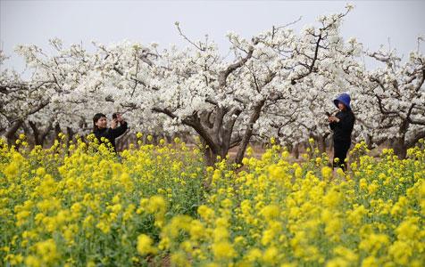 河北邯郸:20万亩梨花飘香引客来