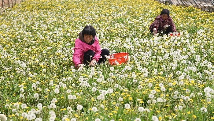河北邯郸:清明时节务农忙