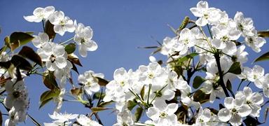 桃花源里看梨花!在曲陽赴一場賞花之約