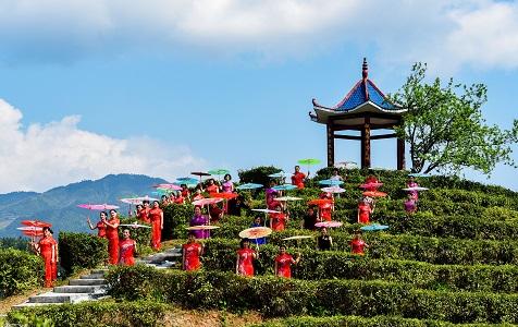 """江西吉安:茶山""""旗袍秀"""" 生態茶園成熱點"""
