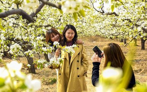 河北广阳:梨花满枝迎客来