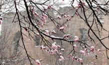 河北四月,一树杏花梦春雪