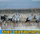 吉林长春 大批候鸟飞抵波罗湖自然保护区