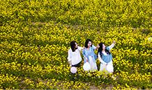 河北安平:油菜花开引客来