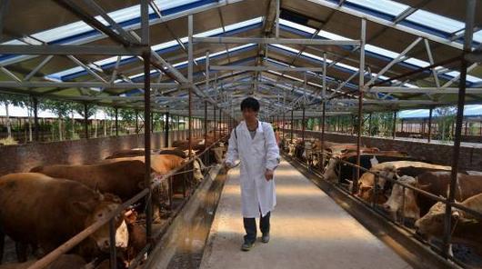 """隆化(hua)肉牛產業越做越""""牛"""""""