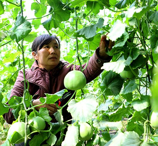 唐山丰润:大棚甜瓜开辟致富路 农家女年收入30余万