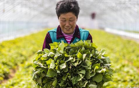 河北武邑:薯秧育苗富农家