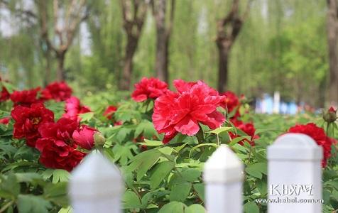 @河北人:4月来石家庄植物园看牡丹