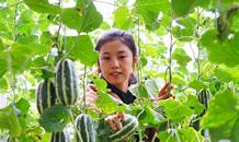 河北曹妃甸:特色种植促增收