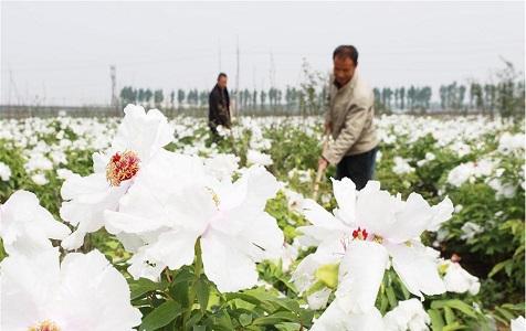 河北内丘:牡丹种植助增收
