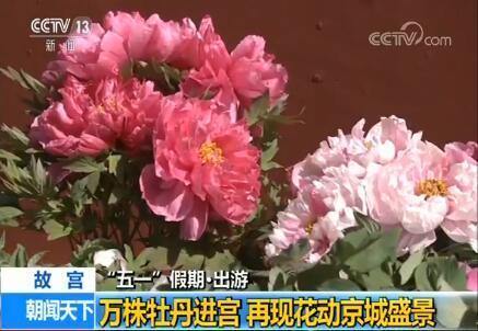 """""""五一""""假期出游 故宫:万株牡丹进宫 再现花动京城盛景"""