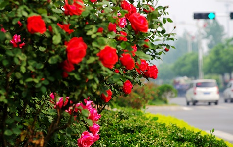 河北邯郸:月季花开满城香